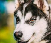 Cerrar perro esquimal joven cachorro husky feliz — Foto de Stock