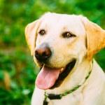 White Labrador Retriever Dog On Green Grass Background — Stock Photo #54005247