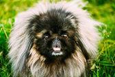 Pies pekińczyk peke psa odpoczynku na trawie — Zdjęcie stockowe