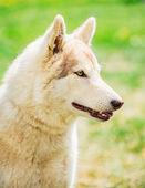 白い大人シベリアン ハスキー犬 (sibirsky ハスキー) — ストック写真