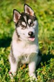 Young Happy Husky Puppy Eskimo Dog — Stock Photo