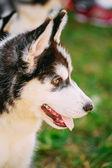 クローズ アップ若いのハスキーの子犬のエスキモー犬 — ストック写真