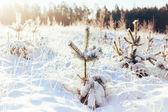 Winter Forest Landscape — Stock Photo