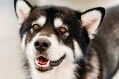 Alaskan Malamute Dog Close Up Portrait — Stock Photo