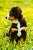 Bernese Mountain Dog (Berner Sennenhund) Puppy — Stock Photo