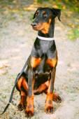 Black Doberman Dog Outdoor Portrait — Stock Photo