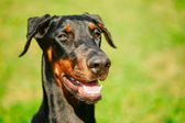 Close Up Black Doberman Dog On Green Grass Background — Foto Stock