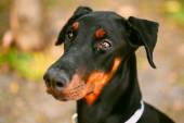 Close Up Black Doberman Dog Outdoor — Stock Photo