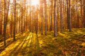 Dawn in old summer forest — Stock Photo