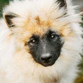 серый keeshound, кеесхонд, keeshonden собака (немецкий шпиц) wolfspit — Стоковое фото