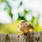 House Sparrow (Passer Domesticus) On Fence — Stock Photo
