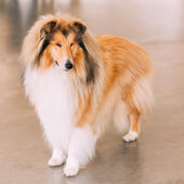 Red Rough Collie Dog — Stock Photo
