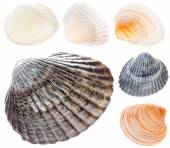 Sea Cockleshell Isolated On White Background Set Collage Collect — Stock Photo