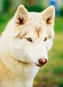 Weiße Erwachsener Siberian Husky Hund (Sibirski husky) — Stockfoto