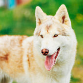 White Adult Siberian Husky Dog (Sibirsky husky)  — Stock Photo