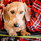 Wirehaired Dachshund Sits In Hands Of Mistress. Close Up Dog Por — Stock Photo