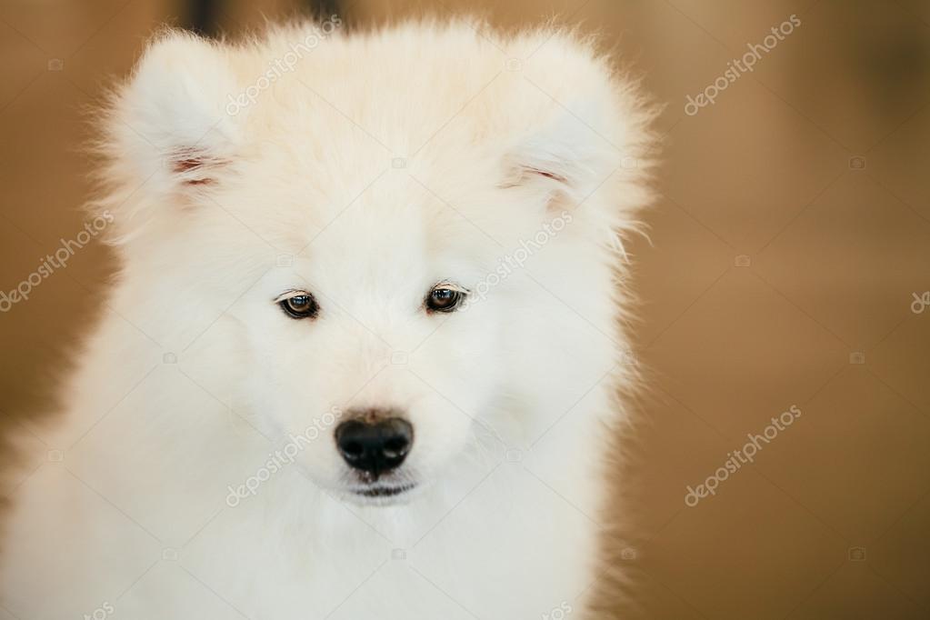 jeune chiot chien samoy de blanc gros plan photo 60560457. Black Bedroom Furniture Sets. Home Design Ideas
