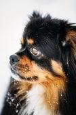 Black And Brown Colors Pekingese Pekinese Peke Dog — Stock Photo
