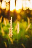 Dry Green Grass Field In Sunset Sunlight. Beautiful Yellow Sunri — Stock Photo