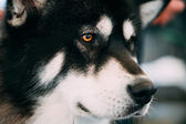 Alaskan Malamute Dog Close Up Portrait — Stock Photo