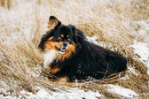 Black And Brown Colors Pekingese Pekinese Peke Dog — Stock Photo