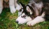 Sad Young Husky Puppy Eskimo Dog — Stock Photo