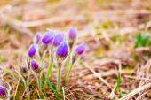Wild Young Pasqueflower In Early Spring.  Flowers Pulsatilla Pat — Stock Photo
