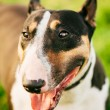 Close Pets Bull Terrier Dog Portrait At Green Grass — Stock Photo #61757807