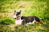Pets Bull Terrier Dog Portrait At Green Grass — Stock Photo