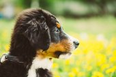 Bernese Mountain Dog Berner Sennenhund Puppy — Stock Photo