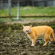 Meowing Adult Red Cat Against Outdoor Countryside — Stock Photo #62144305