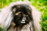 Pekingese Pekinese Peke Dog Resting On Grass — Stock Photo