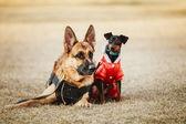 Brown German Sheepdog And Black Miniature Pinscher  Pincher Layi — Zdjęcie stockowe