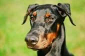 Close Up Black Doberman Dog On Green Grass Background — Stock Photo