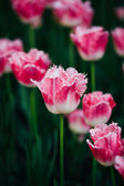 White And Pink Flowers Tulips In Spring Garden — Stockfoto