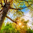 Spring Sun Shining Through Canopy Of Tall Oak Trees. Upper Branc — Stock Photo #65054153