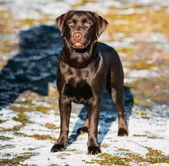 Beautiful Brown Dog Lab Labrador Retriever — Stock Photo