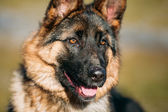 Beautiful Young Brown German Shepherd Puppy Dog Staying Outdoor — Stock Photo