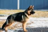 Beautiful Young Brown German Shepherd Puppy Dog Staying — Stock Photo
