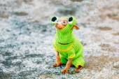 Beautiful Tiny Chihuahua Dog Dressed Up In Frog Outfit, Staying — Stock Photo