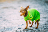 Beautiful Tiny Chihuahua Dog Dressed Up In Outfit, Staying Outdo — Stock Photo