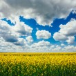 Green Field Blue Sky. Early Summer, Flowering Rapeseed. Oilseed — Stock Photo #67463399