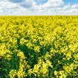 Green Field Blue Sky. Early Summer, Flowering Rapeseed. Oilseed — Stock Photo #67463469