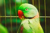 Close Up Alexandrine Parakeet Psittacula Eupatria. Bird Parrot — Stock Photo