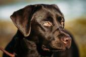Close-up of Beautiful Brown Dog Head, Snout Of Lab Labrador Retr — Stock Photo