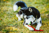 Dog Husky Puppy Plays With Tennis Ball — Stock Photo