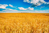 Wheat field, fresh crop of wheat — Stock Photo