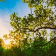Spring Sun Shining Through Canopy Of Tall Oak Trees. Upper Branc — Stock Photo #67641895