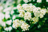 White Spirea Flowers On Bush At Spring — Stock Photo