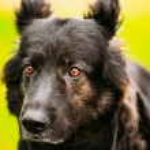 German Shepherd Dog Close Up — Stock Photo #67899535